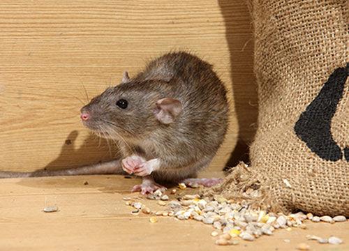 Zelf muizen in huis bestrijden