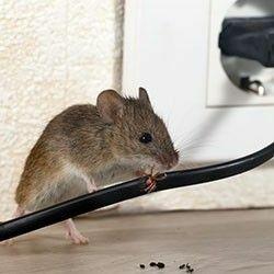 Ratten & muizen bestrijden